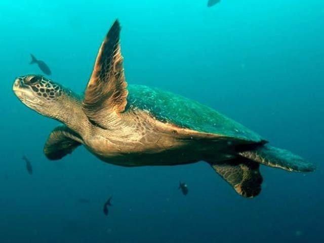 گلاپاگوس جزائر کے اطراف 750 کلومیٹر سمندری راستہ دریافت ہوا ہے جسے نایاب شارک اور کچھووں کی آبی شاہراہ کا نام دیا گیا ہے۔ فوٹو: بشکریہ سی این این